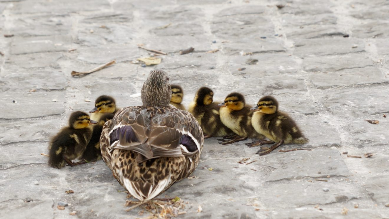 la famille canard trop mignonne